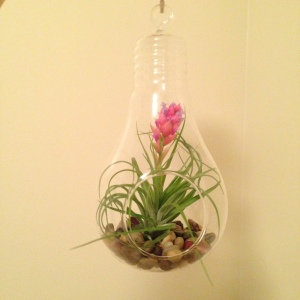 One of my hanging air plants